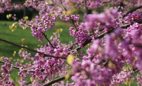 Oakville Spring Blossoms