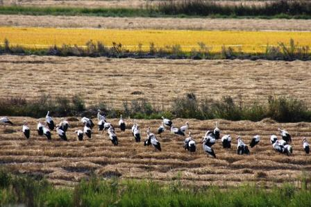 Storks and Rice Fields in Portugal