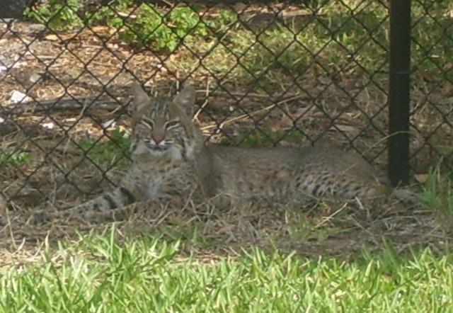 Florida Bobcat resting in Ormond Beach, FL