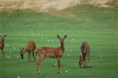 Deer on Driving Range
