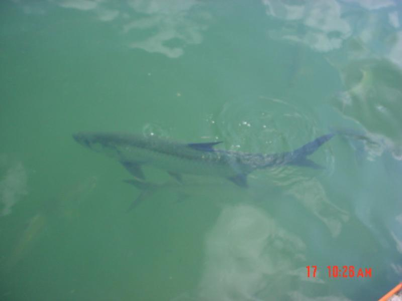 Tarpon at Oceanside Marina