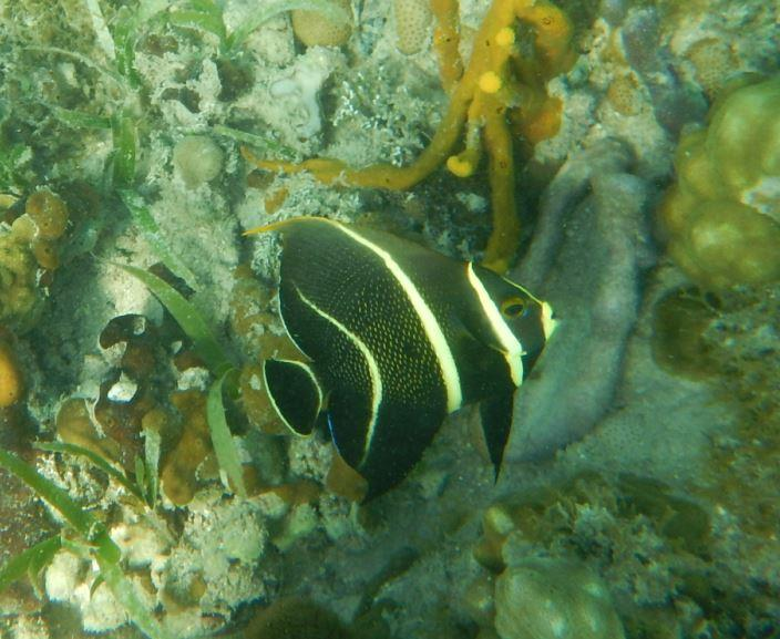 Angelfish - Riu Club Negril, Jamaica