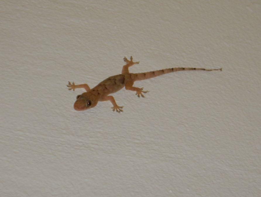 Lizard - Riu Club Negril, Jamaica