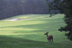 Deer by greenside bunker