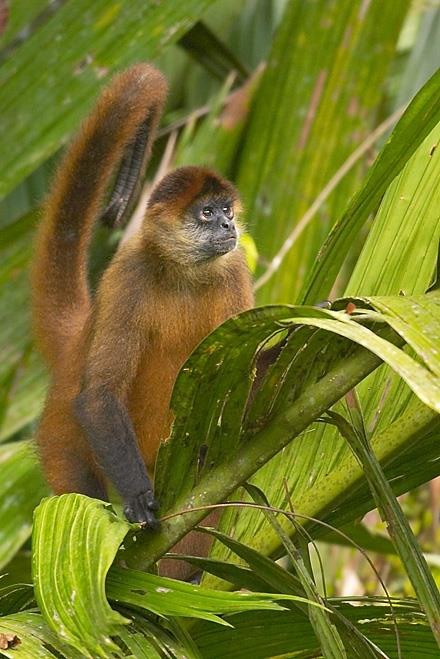 Costa Rica Monkey Pic