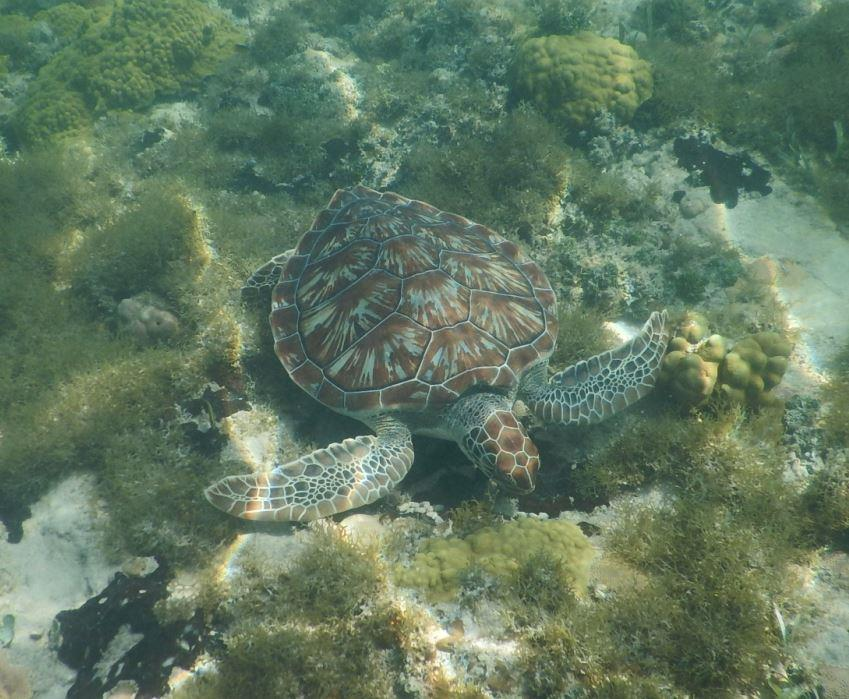 Sea Turtle - Riu Club Negril, Jamaica