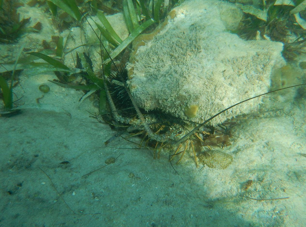 Spiny Lobster - Riu Club Negril, Jamaica