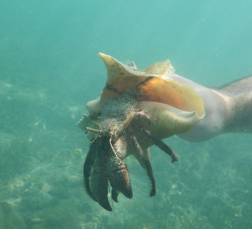 Hermit Crab - Riu Club Negril, Jamaica