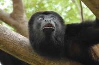 Howler Monke in Playa Del Coco- Guanacaste real state