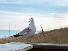 Gull, Ocean Isle Beach