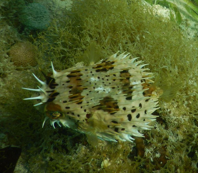 Porcupine Fish - Riu Club Negril, Jamaica