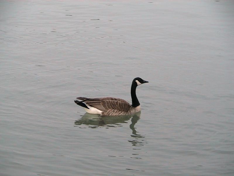 Candian Goose in the Harbour