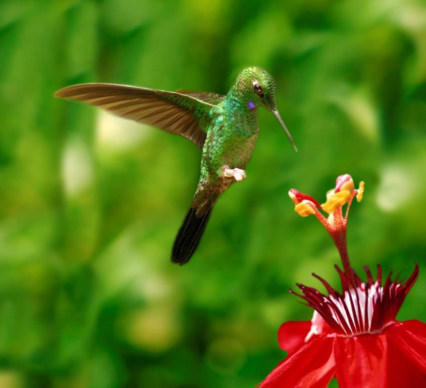 Hummingbird Costa Rica
