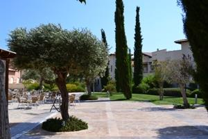 Olive tree in Aphrodite Hills courtyard