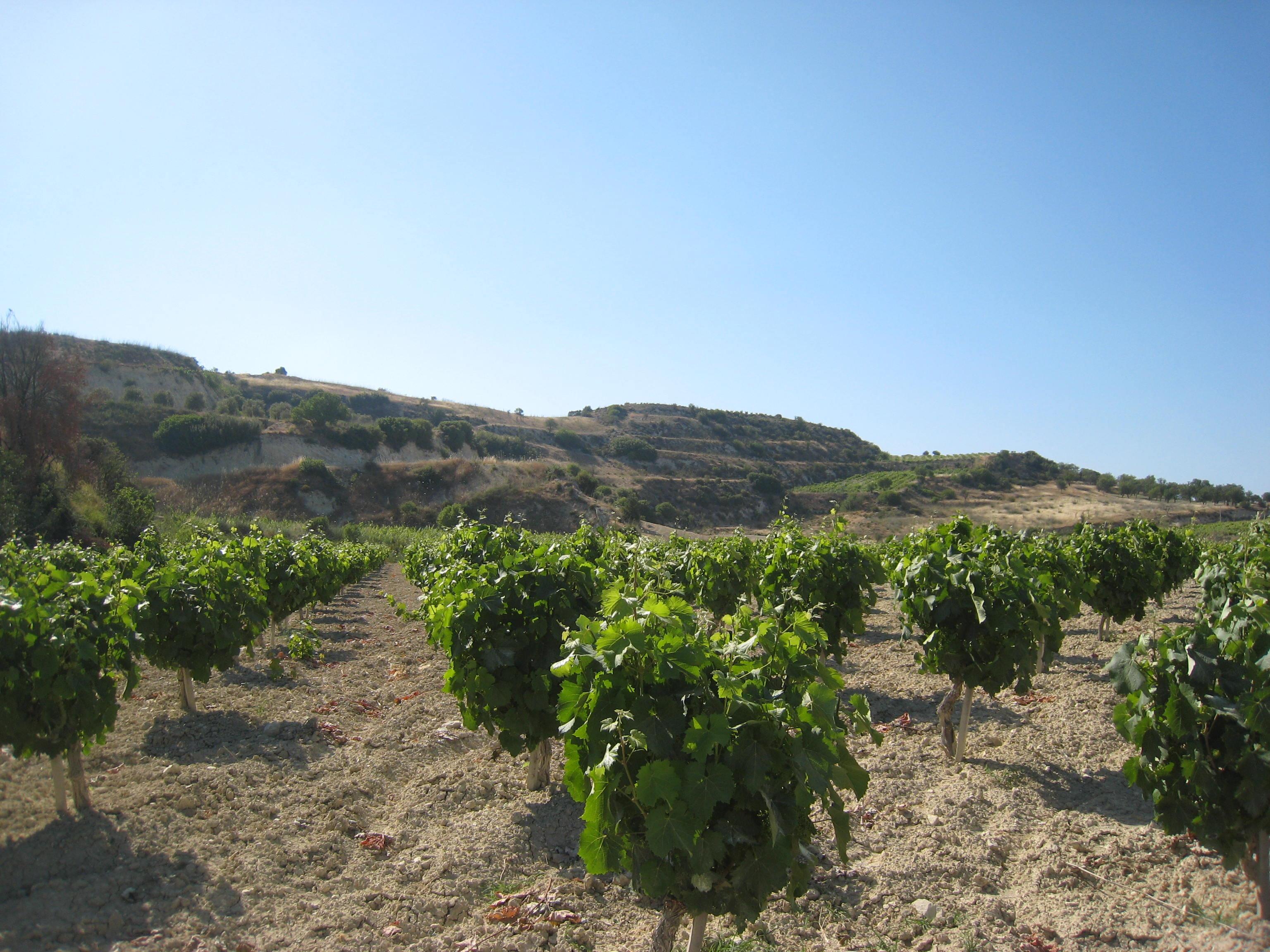 Kathikas Cyprus Vinyard