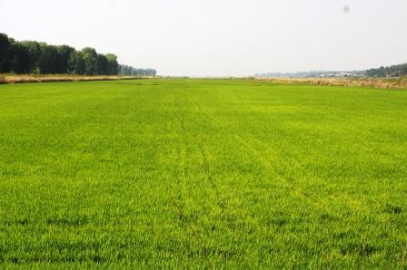 Rice Cultivation along the Alentejo Coast