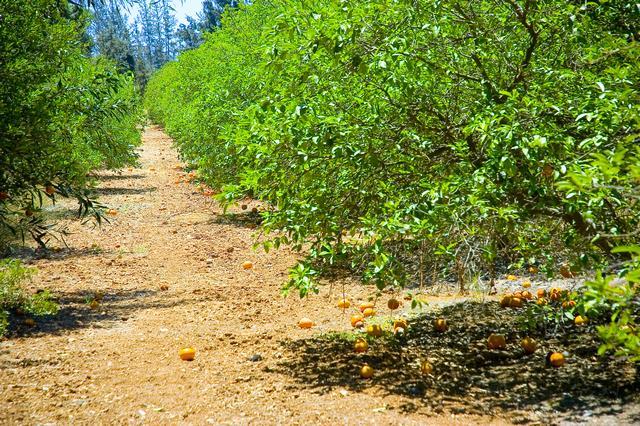 Cyprus Orange trees