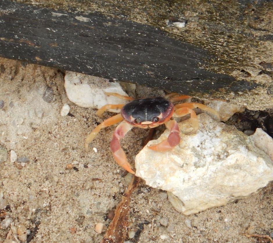 Crab - Riu Club Negril, Jamaica