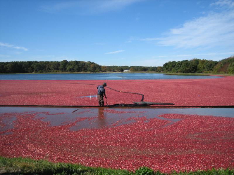 Harwich Cranberry Bog