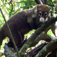 Pizote - Costa Rica